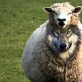 A farkas és az ő (bárány)bőre