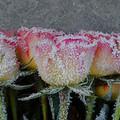 Téli rózsavédelem