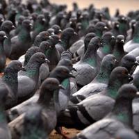 Tippek városi galambok ellen