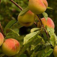 Az ország kedvenc gyümölcsei