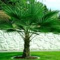 10 tipp a télálló kerti pálmához!