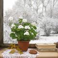 Cserepes növényeink téli problémái
