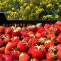 Hogyan szedjünk epret?