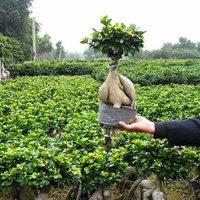 Ginseng, ami bonsai (és még fikusz is)!