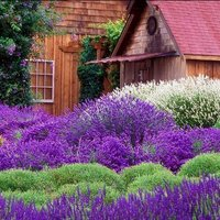 Levendulát minden kertbe!