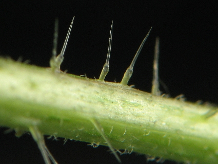Urtica_dioica_stinging_hair.jpg