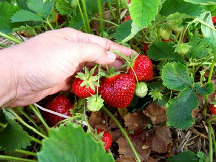 Natural-detox-natural-body-detox-strawberry-picking.jpg