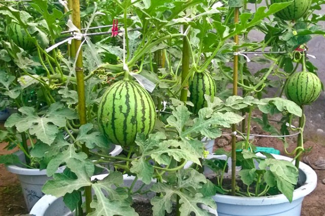 how-to-grow-watermelon-in-pot-e1457271861238.jpg