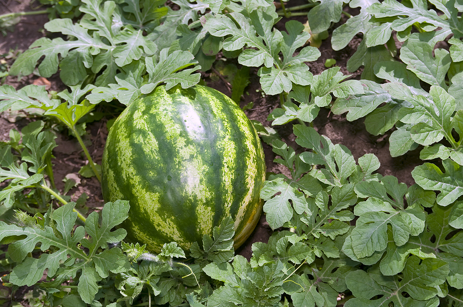 melon-small-watermelon1.jpg