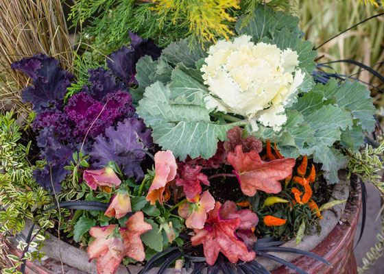 fall-container-garden-ornamental-cabbage-ss_163190240-560x400.jpg