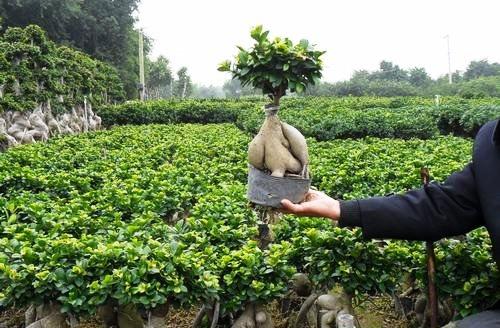 ginseng-ficus-microcarpa-bonsai.jpg