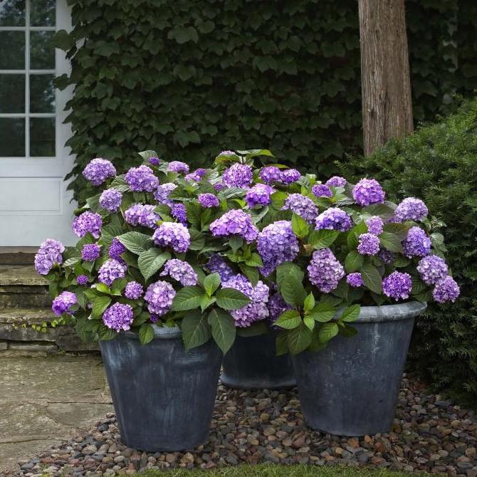 hydrangea-macrophylla-endless-summer-bloomstar_3.jpg