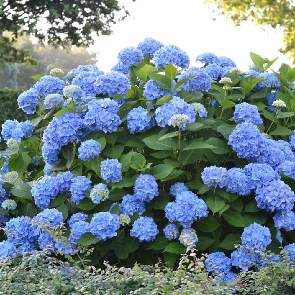 hydrangea_endlesssummer_blue_2000x.jpg