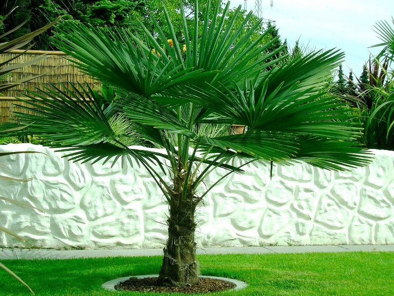 trachycarpus-palm-2_1.jpg