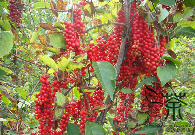 deciduous-woody-vine-schisandra-chinensis-seeds-500pcs-china-five-flavor-berry-seed-health-care-magnolia_jpg_640x640q90.jpg