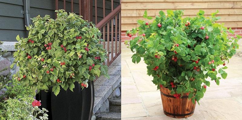 raspberry_pots.jpg