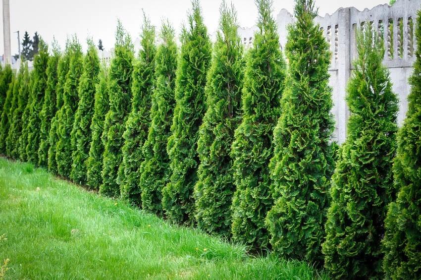 thuja-green-giant-3.jpg