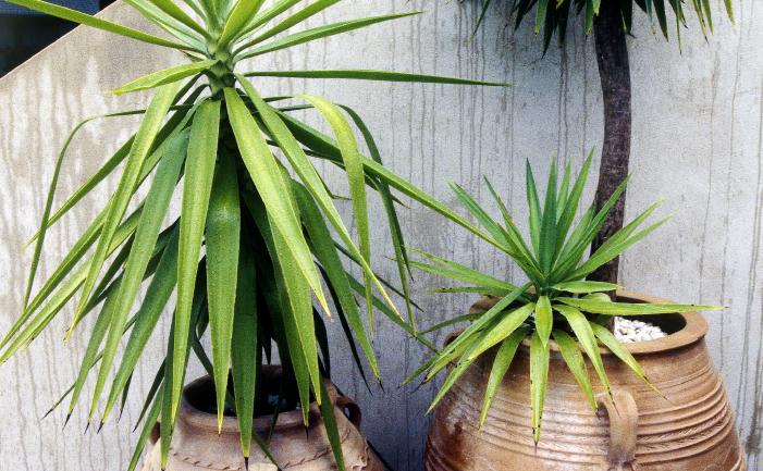 yucca-cutting.jpg