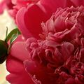 Pünkösdi rózsa:)