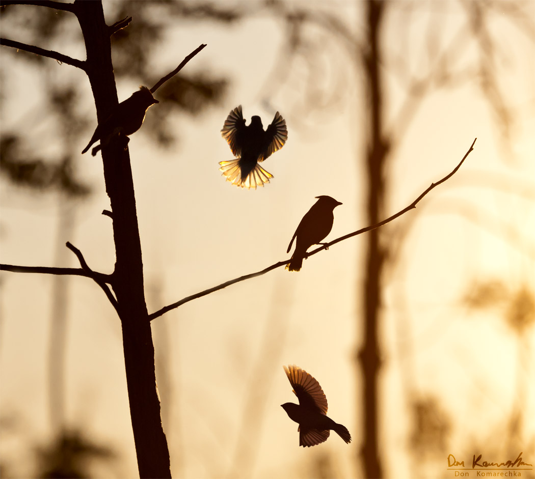 cedar-waxwings.jpg