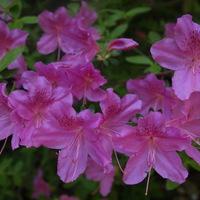 A Jeli Arborétum - Rhododendron virágzás idején (rengeteg fotóval)