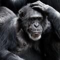 Mi lesz a nyugdíjas csimpánzokkal?