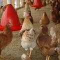 Ki eteti meg a csirkéket?