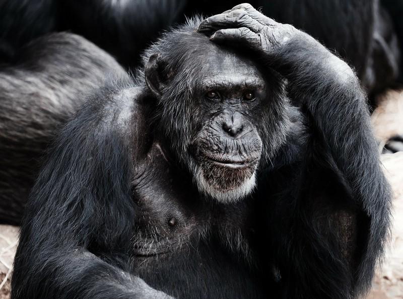csimpanz_foto_pixabay_com_publicdomainpictures.jpg