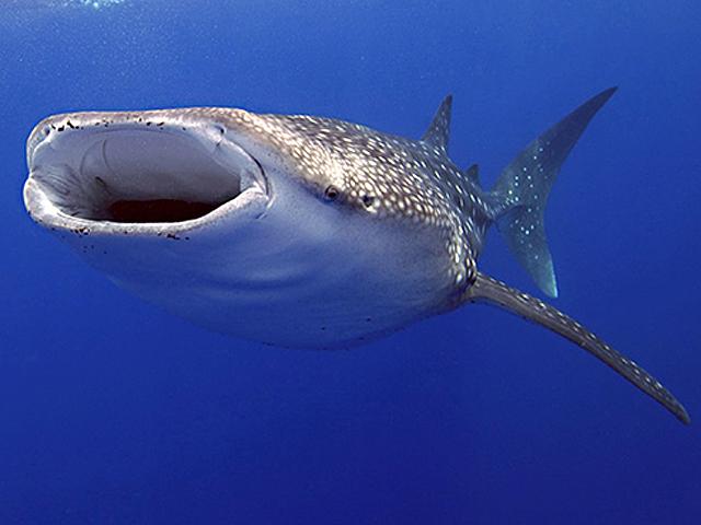 Китовая акула.  Исследования в рамках проекта COML (перепись морских...