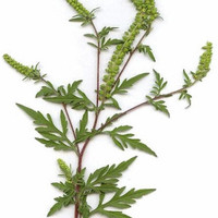 egy veszélyes (tév)eszme nyomában: gyógynövény-e a parlagfű?