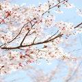 Dél-Korea virágba borul