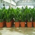 Kertészkedés négy fal között - 4. rész: Az agglegénypálma