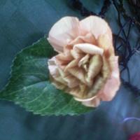 Csuhé rózsa