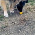 Szarvasgombász kutyát szeretnék! Triflakutya képzés egyszerűen V.
