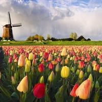 Tulipánmező a Puskás gyepén