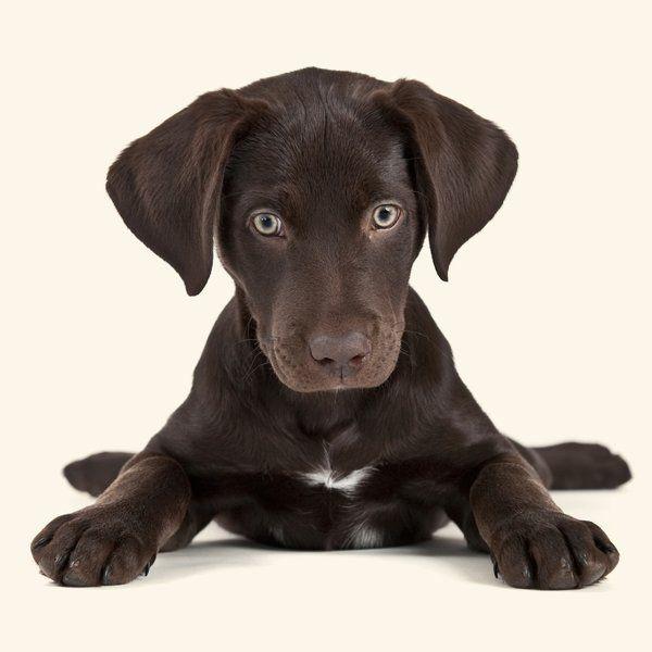 emotion-labrador-funny-puppy.jpg