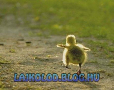Várjatok meg kacsa - Lájk