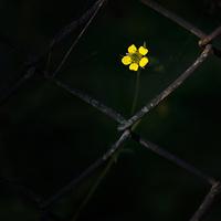 Rabvirág