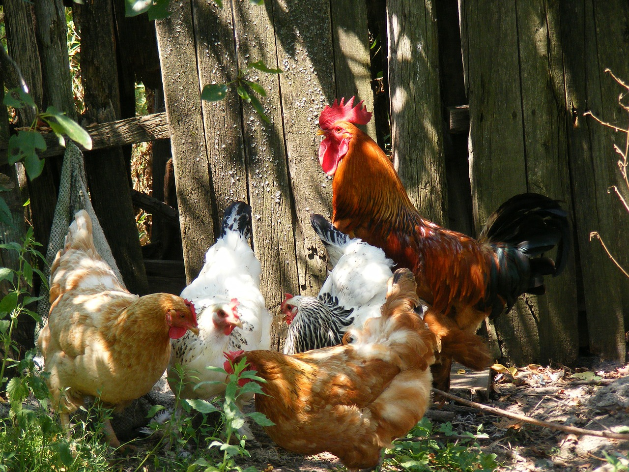 chicken-88507_1280.jpg