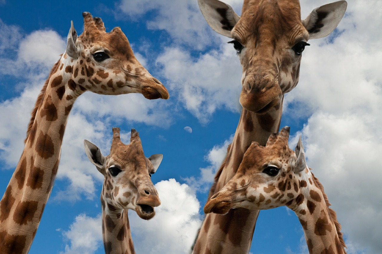 giraffes-627033_1280.jpg