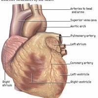 Érelmeszesedés, szívinfarktus, avagy hogyan vigyázzunk a szívünkre?