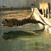 Tigris, Tigris...