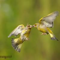 A hét madárdala: Zöldike
