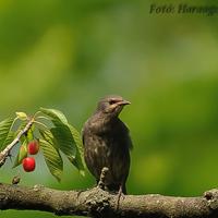 A hét madárdala: Seregély