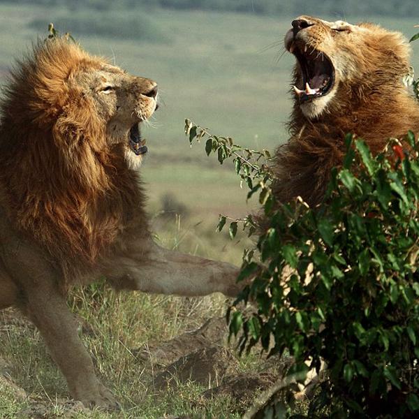 lion_dominance.jpg