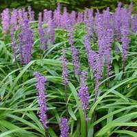 Mit ültessünk árnyékos helyre a kertben? (2. rész) - Növények árnyékos, száraz helyre
