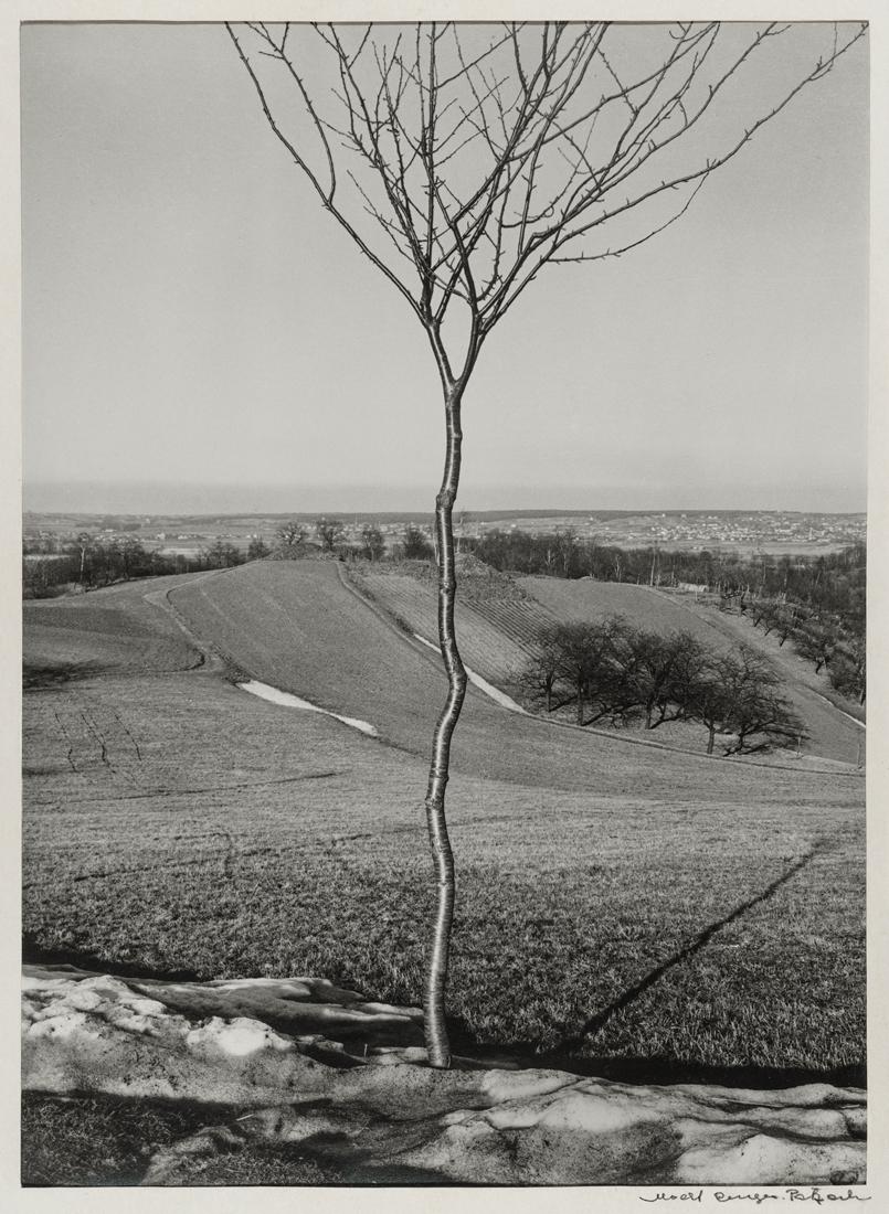 Fotó: Albert Renger-Patzsch: A kis fa, 1928 © Albert Renger-Patzsch / Archiv Ann und Jürgen Wilde, Zülpich / ADAGP