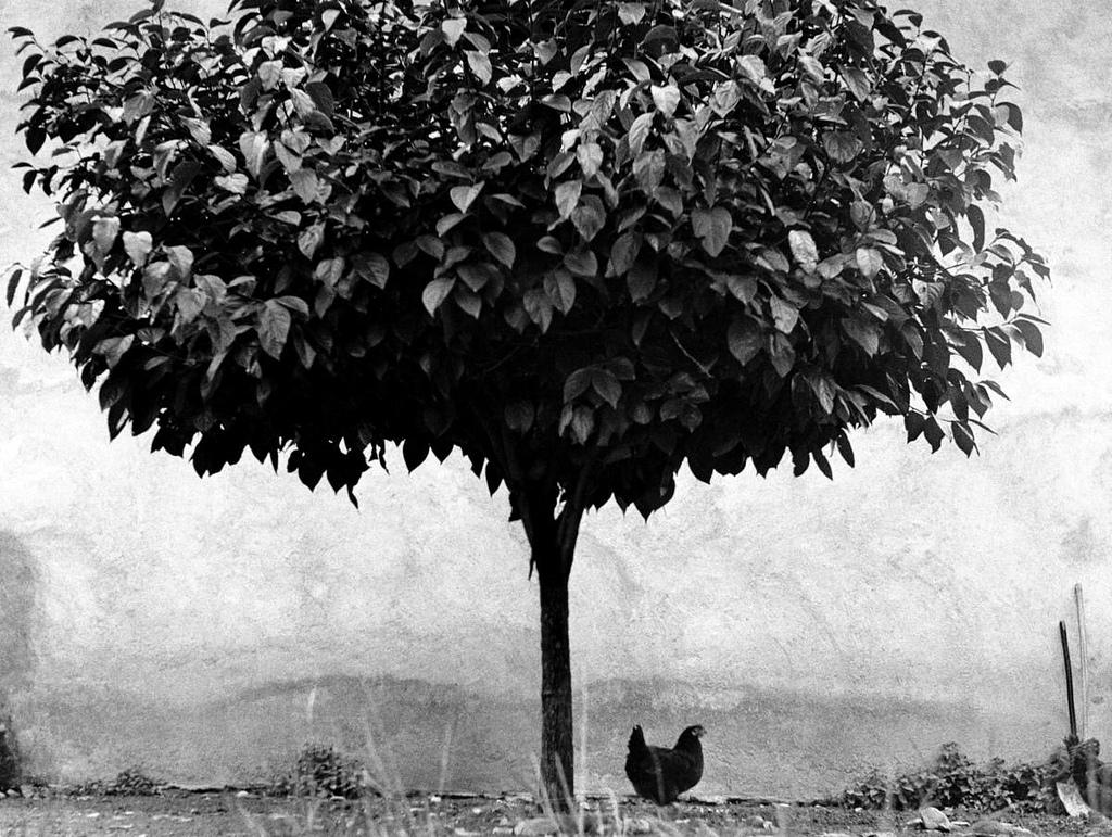 Fotó: Edouard Boubat: Fa és csirke, Franciaország, 1950 © Edouard Boubat