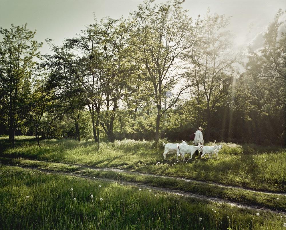Fotó: Bácsi Róbert László: Egy asszony legelni viszi a négy fehér kecskéjét. Annak ellenére, hogy Ribnica szinte a második legnagyobb település Transznisztriában, sokan tartanak háziállatokat. 2014. Részlet a Transznisztria sorozatból
