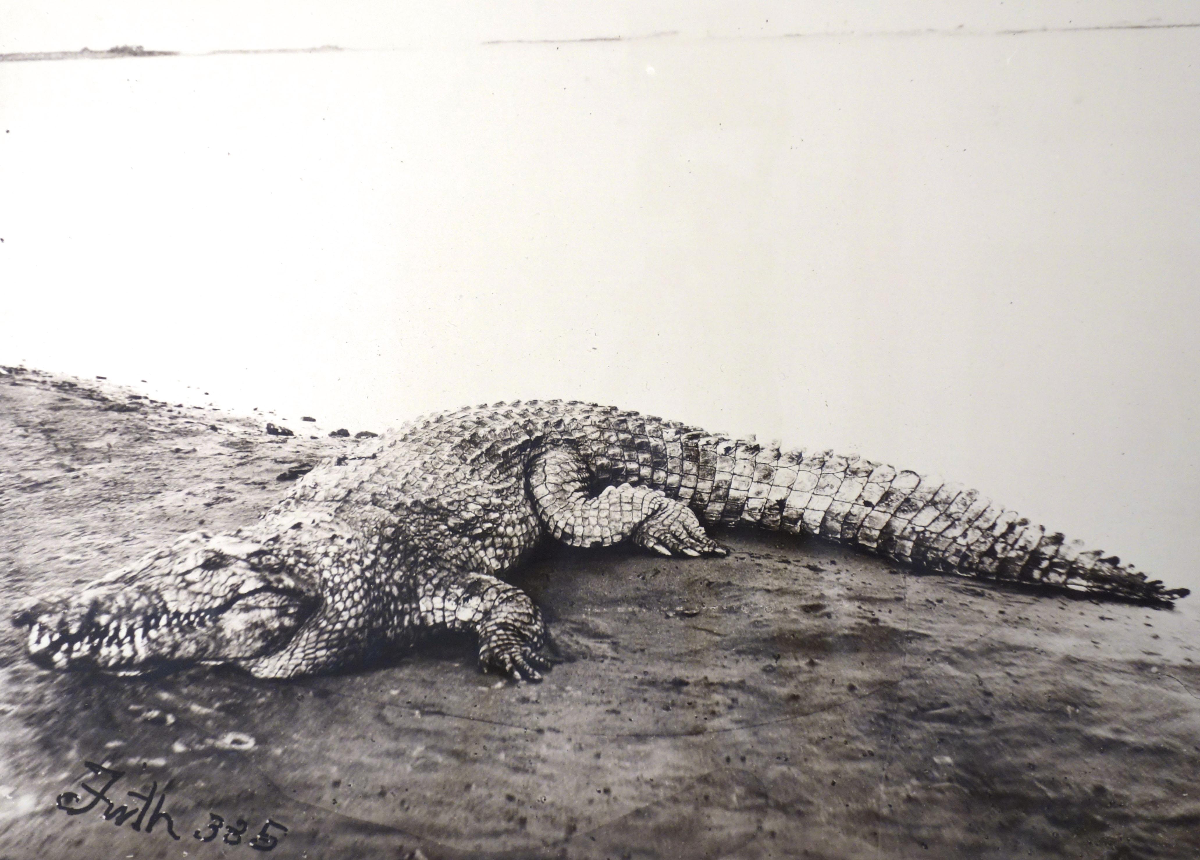 Fotó: Francis Frith: Krokodil a Nílus egy homokzátonyán (szignált sztereo felvétel), 1857, 28,5 x 40 cm, sztereo fénykép